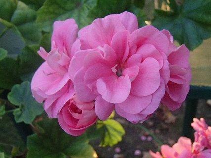 FOTKA - ružový muškát