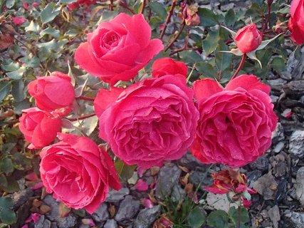 FOTKA - ružičky stále kvitnú