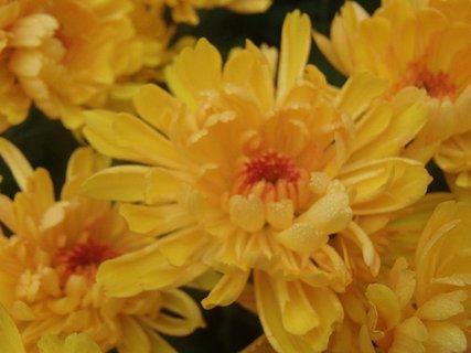 FOTKA - drobné kvapky dažďa na chryzantéme