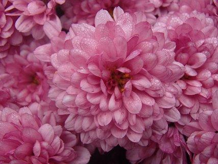 FOTKA - aj ružová zmokla