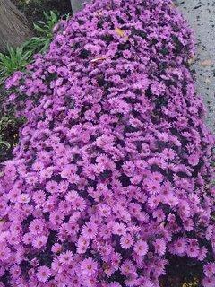 FOTKA - fialový záhon pri chodníku
