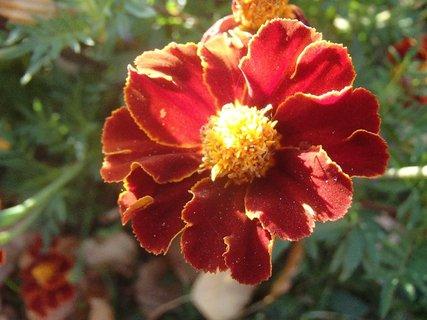 FOTKA - tmavý afrikán kvitne
