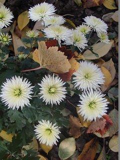 FOTKA - lístie v bielych chryzantémach