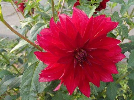 FOTKA - kvet georgíny