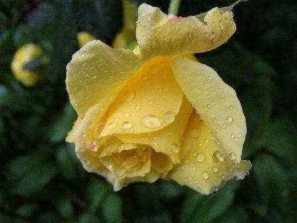 FOTKA - kvapky na žltej ruži