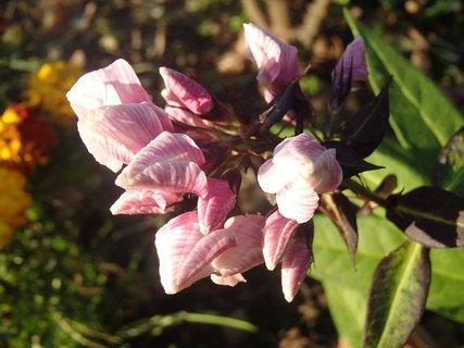 FOTKA - kvitne v novembri1