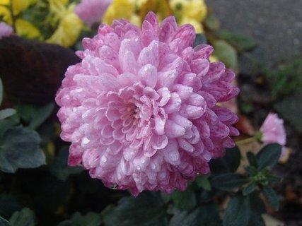 FOTKA - ružová hlavička s kvapkami dažďa