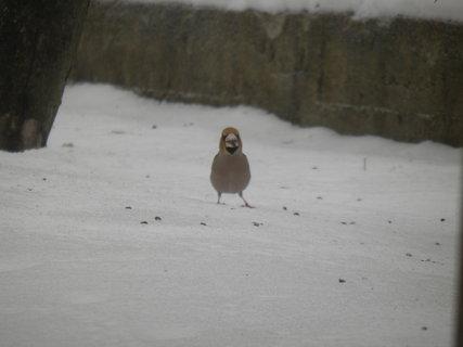 FOTKA - Ptáci v zimě 52