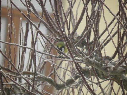 FOTKA - Ptáci v zimě 56