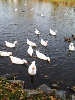 FOTKA - husy na rybníce 10