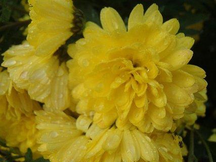 FOTKA - kvapky na žltých chryzantémach