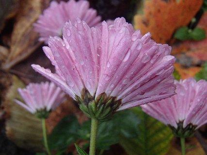 FOTKA - kvety chryzantémy po daždi