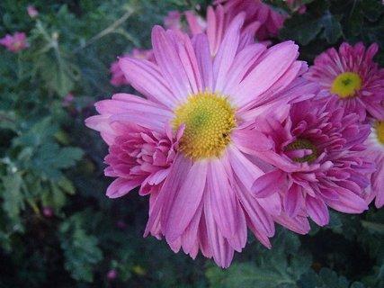 FOTKA - že by na jednej stonke tri kvety?