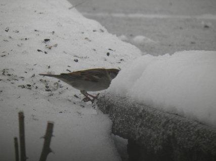 FOTKA - Ptáci v zimě 72
