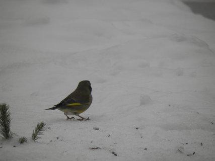 FOTKA - Ptáci v zimě 73