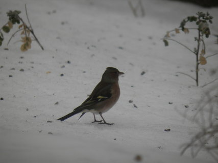 FOTKA - Ptáci v zimě 74