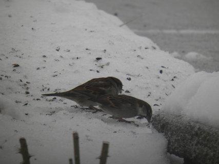 FOTKA - Ptáci v zimě 75