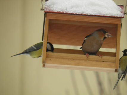 FOTKA - Ptáci v zimě 76