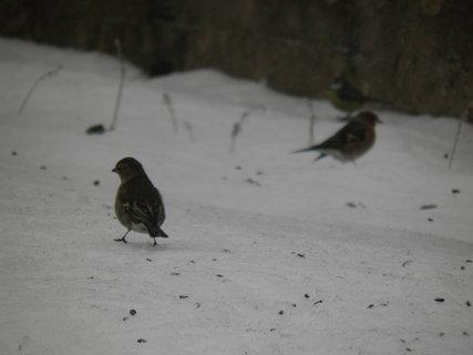 FOTKA - Ptáci v zimě 95