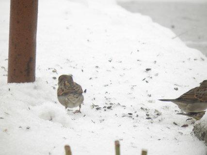 FOTKA - Ptáci v zimě 96