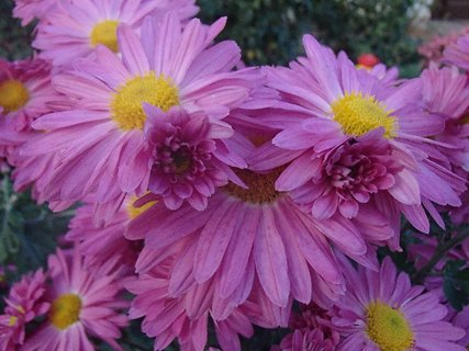 FOTKA - ružovkasté chryzantémy