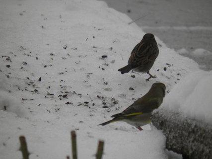 FOTKA - Ptáci v zimě 97