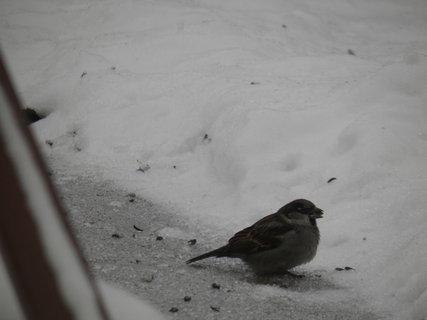 FOTKA - Ptáci v zimě 98