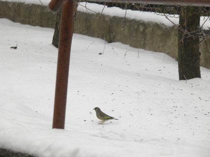 FOTKA - Ptáci v zimě 107
