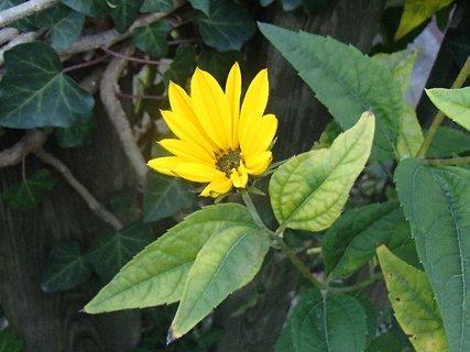 FOTKA - žltý osamotený kvietok