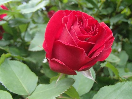 FOTKA - 12.11.2013 ruža kvitne