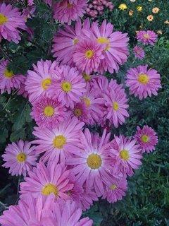 FOTKA - chryzantémky stále v kvete
