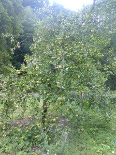 FOTKA - Jabloň - větve až na zemi