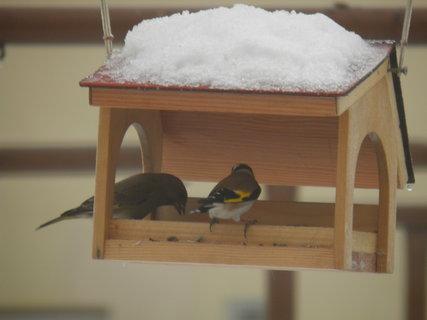 FOTKA - Ptáci v zimě 116