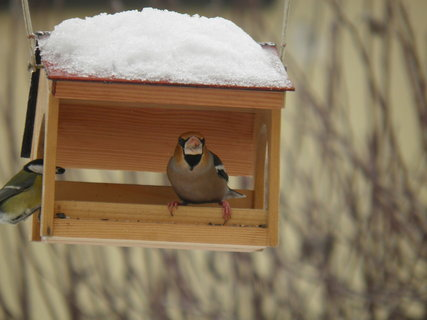 FOTKA - Ptáci v zimě 126