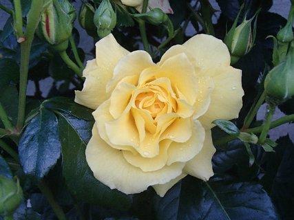 FOTKA - zmoknutá ruža z minulého týždňa