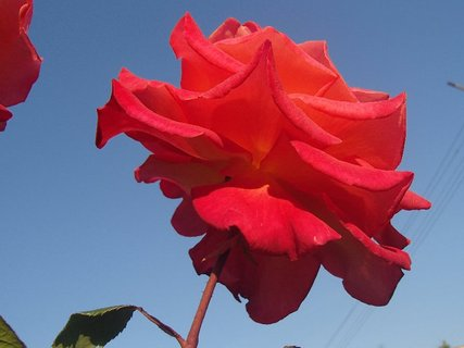 FOTKA - červená ruža v oblakoch