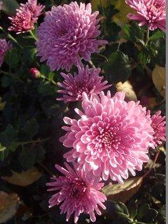 FOTKA - ružové chryzantémy stále kvitnú