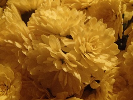 FOTKA - kvety žltých chryzantém