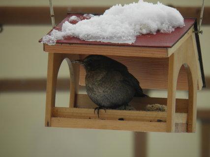 FOTKA - Ptáci v zimě 137