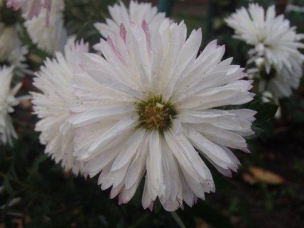 FOTKA - zmokli aj chryzantémy