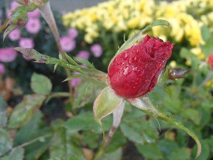 FOTKA - púčik ruže