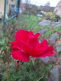 FOTKA - 13.11. - 10.11 - 5 - poupě růže v listopadu