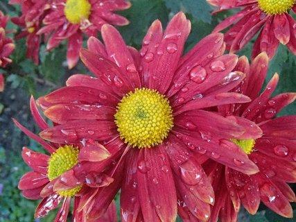 FOTKA - kvapky na červenej chryzantéme