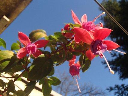 FOTKA - kvety fuksie sa rozvili