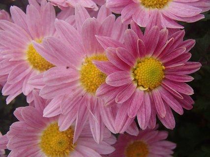FOTKA - bledoružové chryzantémy