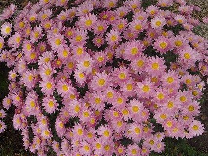 FOTKA - ružový koberec