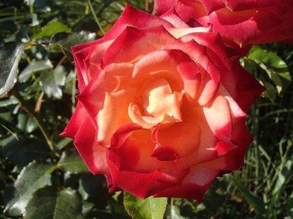 FOTKA - 17.11.2013 ruža ešte kvitne