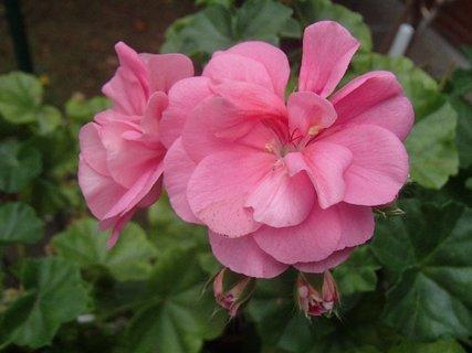 FOTKA - kvietky ružového muškátu
