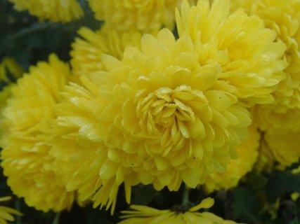 FOTKA - samé žlté chryzantémy
