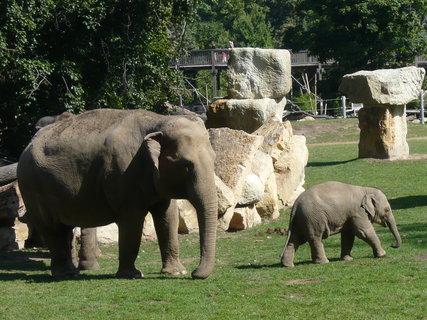 FOTKA - sloni v pražské ZOO